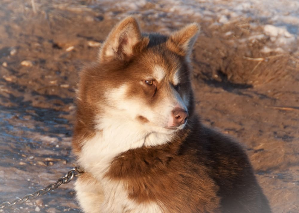 a picture of a husky in churchill manitoba